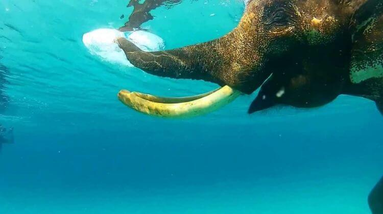 Swimming With Elephants in Andaman Cost