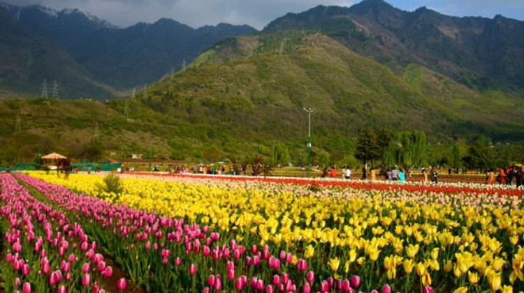 Image result for kashmir tulip garden,nari
